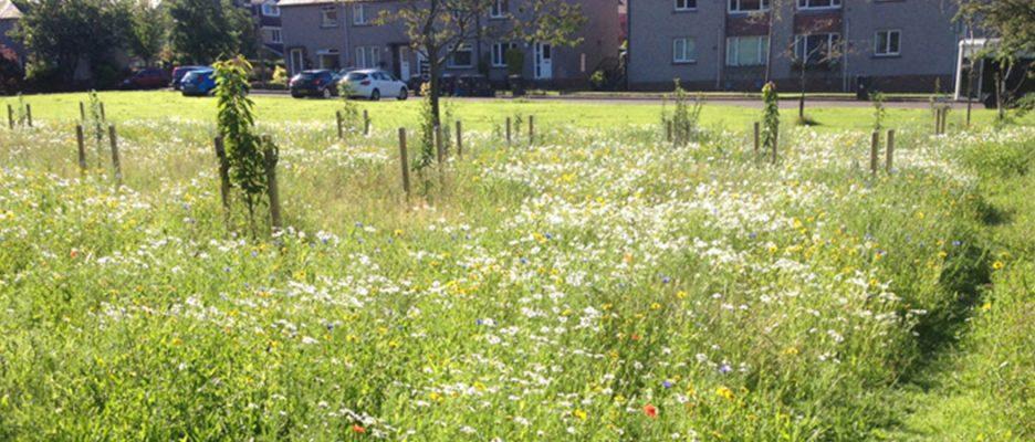 Meadow flowers in Strathblane